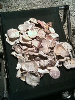 貝殻いっぱい.JPG