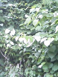 マタタビの葉.JPG