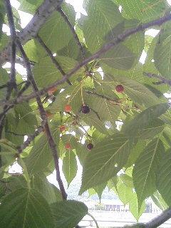 桜の実.JPG
