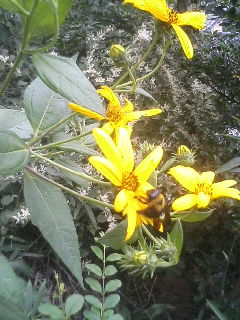 キクイモの花.JPG