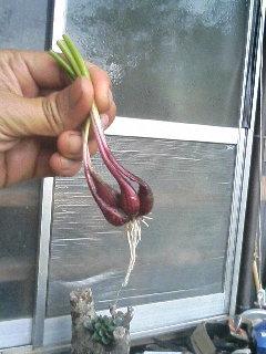 アサツキの鱗茎.JPG