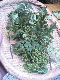 山椒の実収穫.JPG