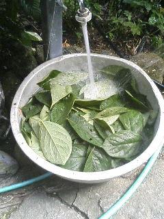 柿の葉洗浄.JPG
