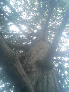 キウイの木?.JPG